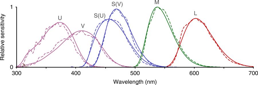 Plná čára znázorňuje citlivost ptačích fotoreceptorů L, M, S(V), S(U), V a U pro jednotlivé vlnové délky. Pro modré a ultrafialové světlo existuje  v ptačí říši po dvou typech fotoreceptorů s rozdílnou spektrální citlivostí označené S(V) a S(U), V a U. Čárkovaná čára znázorňuje při výzkumu použité kanály multispektrální kamery (upraveno podle Cynthia Tedore & Dan-Eric Nilsson, Avian UV vision enhances leaf surface contrasts in forest environments, Nature Communications, volume 10, Article number: 238 (2019), CY BY 4.0, https://creativecommons.org/licenses/by/4.0/).