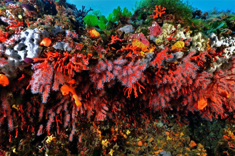 Korál červený ve Středozemním moři, foto Aldo Ferrucci.