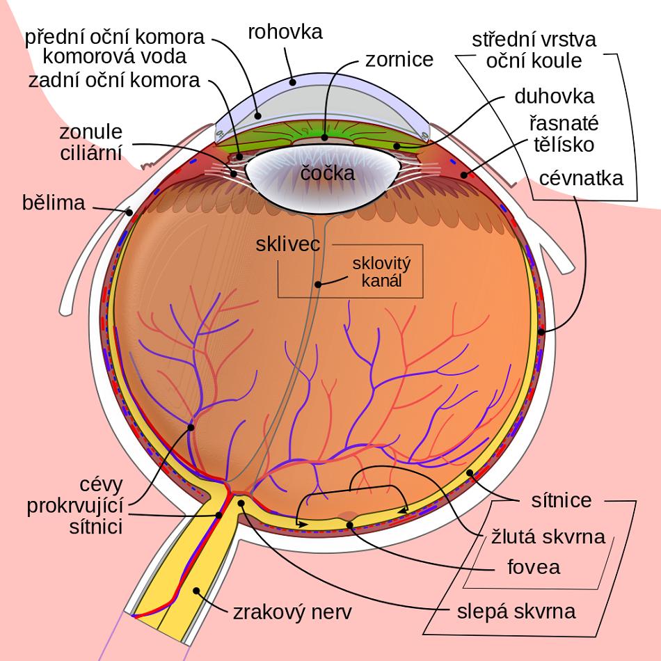 Řez lidským okem (Public domain, via Wikimedia Commons).