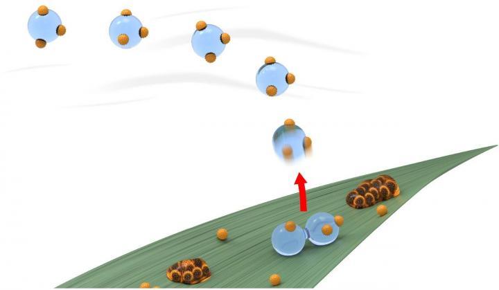 Schéma přenosu výtrusů patogenní houby Puccinia triticina z infikovaných na zdravé rostliny, obr.Virginia Tech.