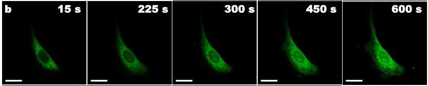 Mikroskopické snímky buněk rakoviny prostaty s cytoplazmou označenou zeleně fluoreskujícím barvivem. Bílá úsečka je 20 mikrometrů dlouhá.  Čas v sekundách znamená délku působení molekulárních vrtaček. Postupné vylévání obsahu buněk je zcela zřetelné, obr. V.García-López et al., Molecular machines open cell membranes, Nature, volume 548, pages 567–572 (31 August 2017).