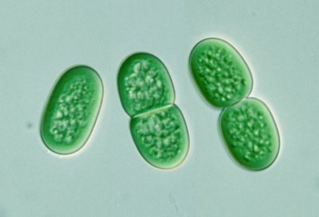 Sinice Synechococcus aeruginosus, foto The Japanese Fresh-water Algae, 1977.
