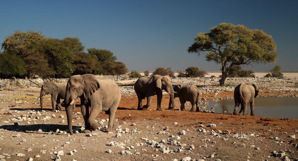 Budoucí farma na výrobu celulózových nanovláken? Sloni u Okaukuejo v rezervaci Etosha v severní Namibii 2016, foto Vaclav Ourednik.