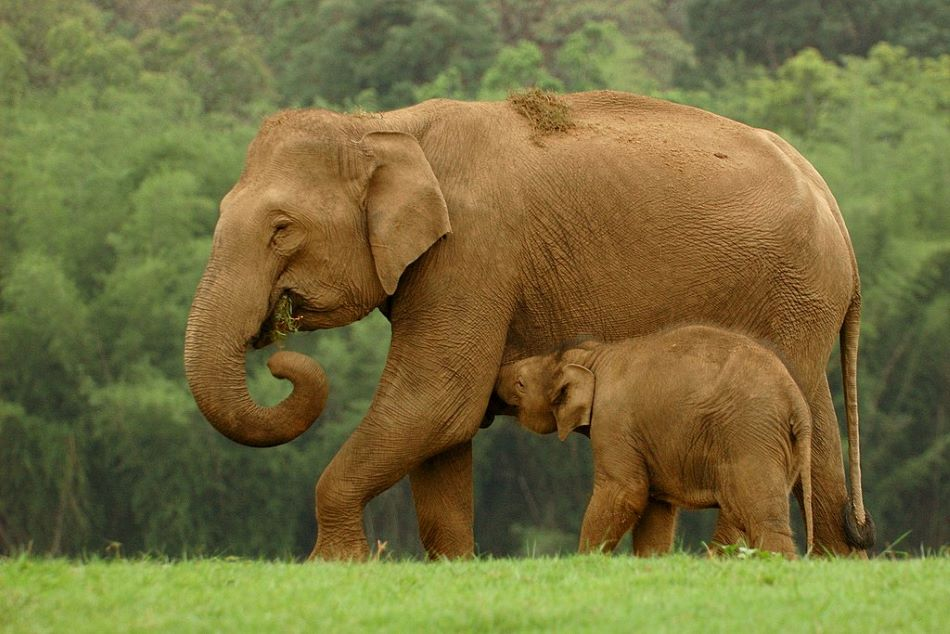 Slon indický Elephas maximus, jeden ze tří žijících druhů slona a jediný nevymřelý druh rodu Elephas. Sloni rodu Loxodonta žijí v Africe. Foto Kalyan Varma [CC BY-SA 4.0 (https://creativecommons.org/licenses/by-sa/4.0)].