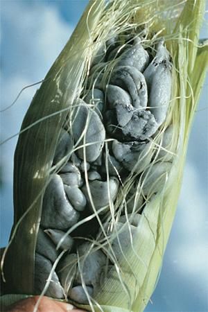 sněť kukuričná