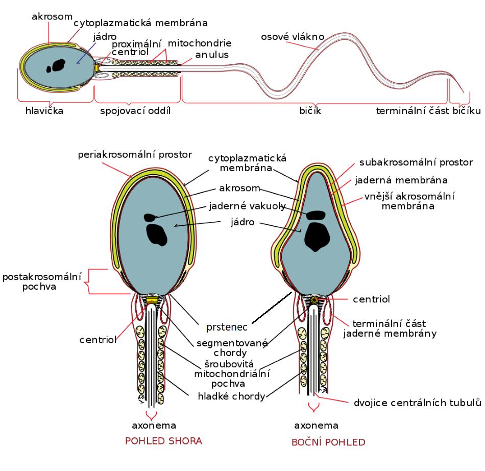 Schéma spermie, LadyofHats [Public domain].