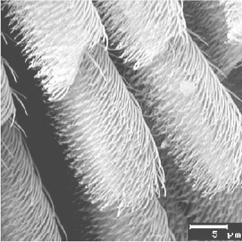 detail pavoučí nohy pořízený elektronovým mikroskopem. Úsečka vpravo dole je 5 mikrometrů dlouhá. Foto  Smart Mater. Struct. 13 512.