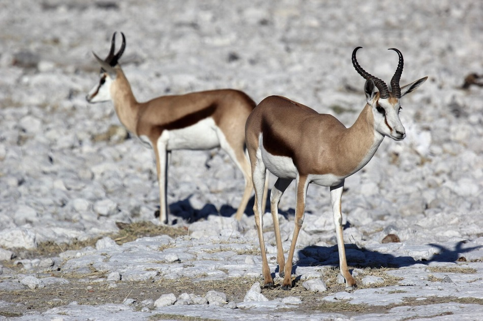 Mezi přežvýkavce patří i antilopy skákavé (Antidorcas marsupilis) na snímku Vaclava Ourednika, Namibie 2016.