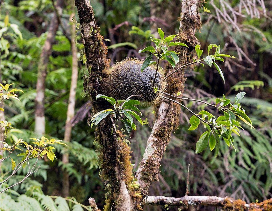 Squamellaria wilsonii na nepříbuzném stromu. Základem rostliny je hlíza, která slouží zároveň jako domatium mravencům Philidris nagasau.  Fotografie byla pořízena na ostrově Taveuni souostroví Fidži poblíž Somosom Creek v říjnu 2017, foto John Game [CC BY 2.0 (https://creativecommons.org/licenses/by/2.0)].