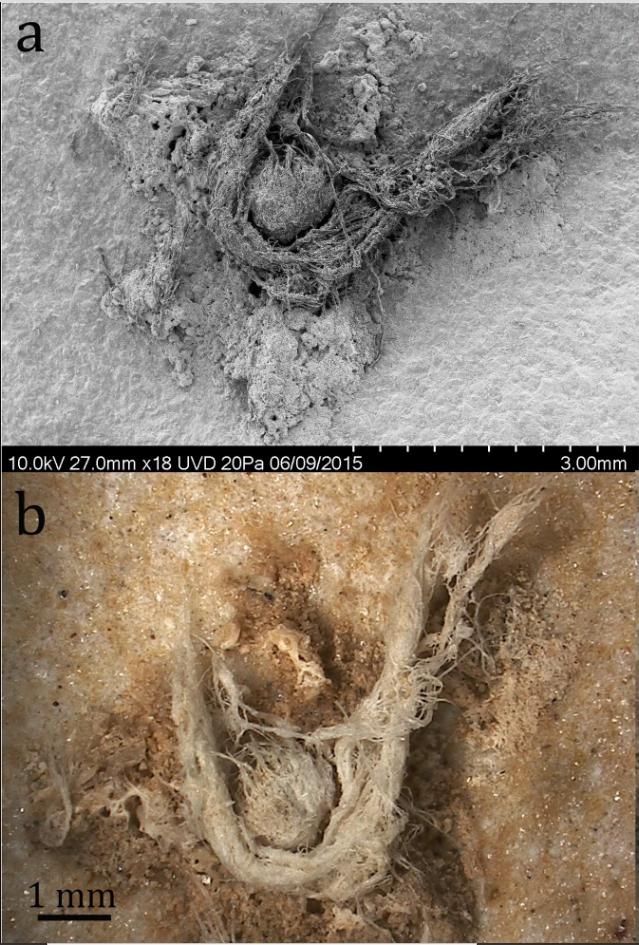 Nahoře (a) fotografie lana elektronovým mikroskopem, dole (b) standardní makrofotografie, http://creativecommons.org/licenses/by/4.0/, CC BY 4.0, foto Hardy, B.L., Moncel, M., Kerfant, C. et al. Direct evidence of Neanderthal fibre technology and its cognitive and behavioral implications. Sci Rep 10, 4889 (2020), https://doi.org/10.1038/s41598-020-61839-w
