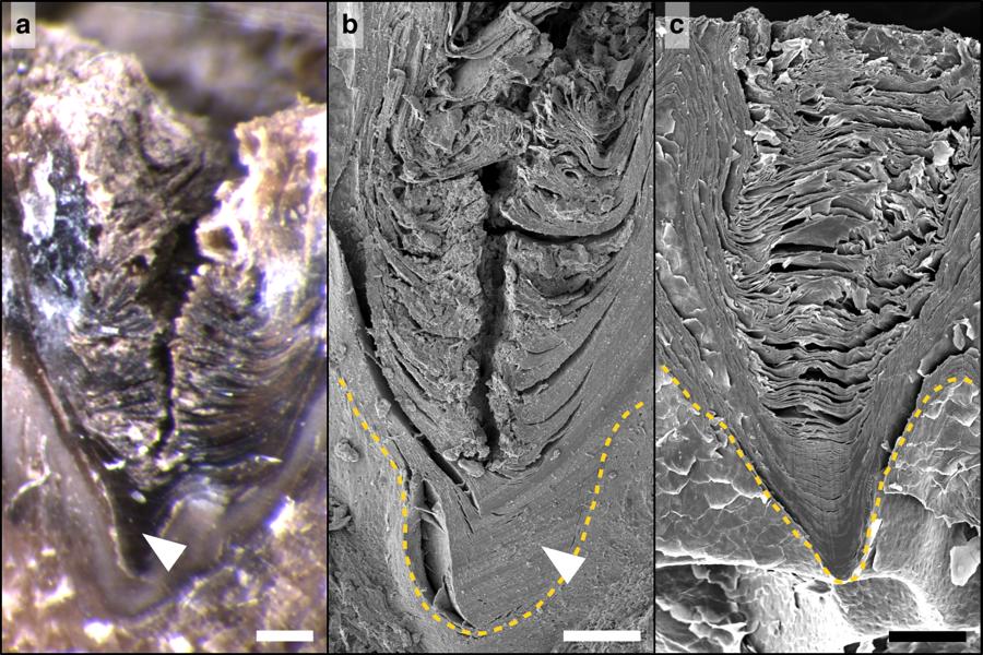 Řez vrstvou pokožky stratum corneum kolmo na vznikají praskliny  na snímku běžného světelného (a) a elektronového mikroskopu (b,c). Délka úseček  je 250 mikrometrů (a),  b 150 mikrometrů (b) , a 100 mikrometrů (c), obr A.F.Martins et al., Locally-curved geometry generates bending cracks in the African elephant skin, Nature Communications, volume 9, Article number: 3865 (2018).