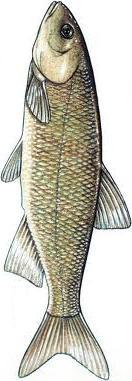 Střevle Semotilus corporalis je sladkovodní ryba obývající severovýcho Spojených států a východ Kanady.