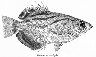 střikoun Toxotes microlepis z Sir Francis Day: Fauna of British India (Fishes, Volumes 1 and 2) 1889, délka 5 - 10 cm.