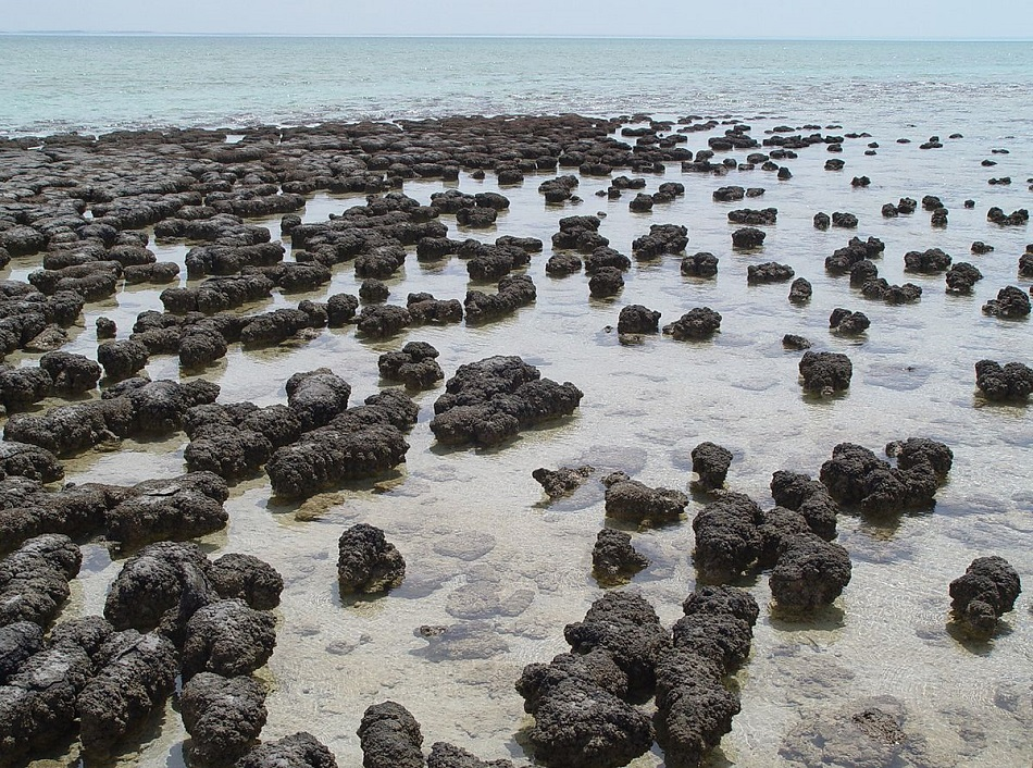 Současné stromatolity v australské Shark Bay (foto Paul Harrison, CC-BY-SA-3.0 (http://creativecommons.org/licenses/by-sa/3.0/), via Wikimedia Commons).