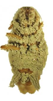 Pozůstatky švába napadeného houbou Metarhizium anisopliae.  Foto Chengshu Wang a Yuxian Xia, PLoS Genetics, January 2011, via Wikipedia. Licence  Creative Commons Attribution 2.5 Generic.