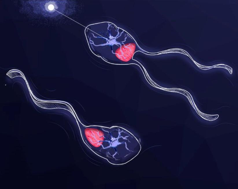 Schematický náčrtek biobota hnaného svaly s jedním a dvěma bičíky. Slutečná hlavička je asi 1 mm dlouhá, upraveno podle O.Aydin et al., Neuromuscular actuation of biohybrid motile bots, PNAS October 1, 2019 116 (40) 19841-19847, CC BY-NC-ND, https://creativecommons.org/licenses/by-nc-nd/4.0/.