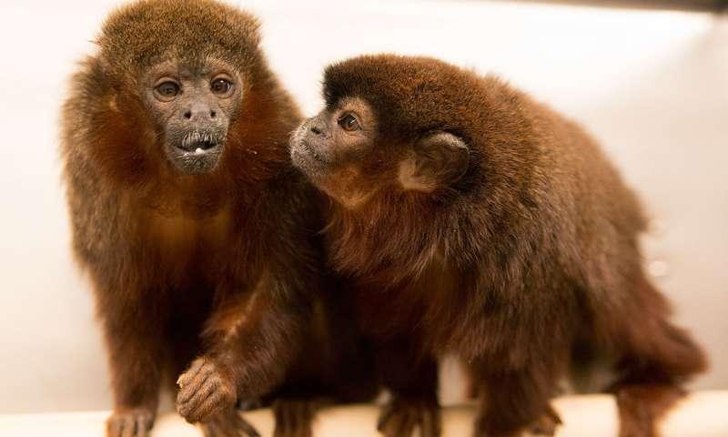 Monogamní pár jihoamerických primátů titi červený (Callicebus cupreus, angl. coppery titi) v California National Primate Research Center, foto K.West/CNPRC.