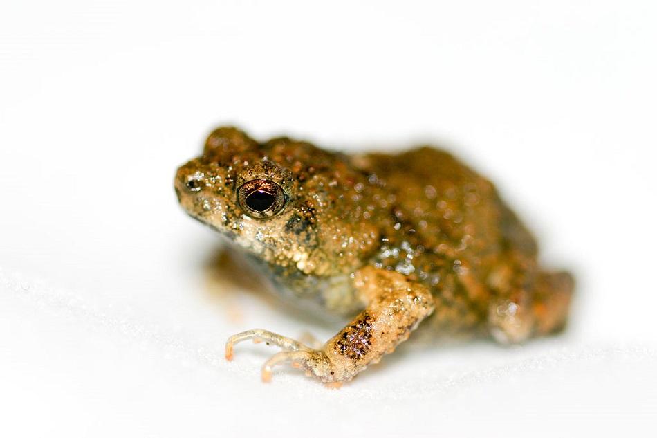 Hvízdalka pěnodějná (Engystomops pustulosus), foto Brian Gratwicke, CC BY 2.0, https://creativecommons.org/licenses/by/2.0.