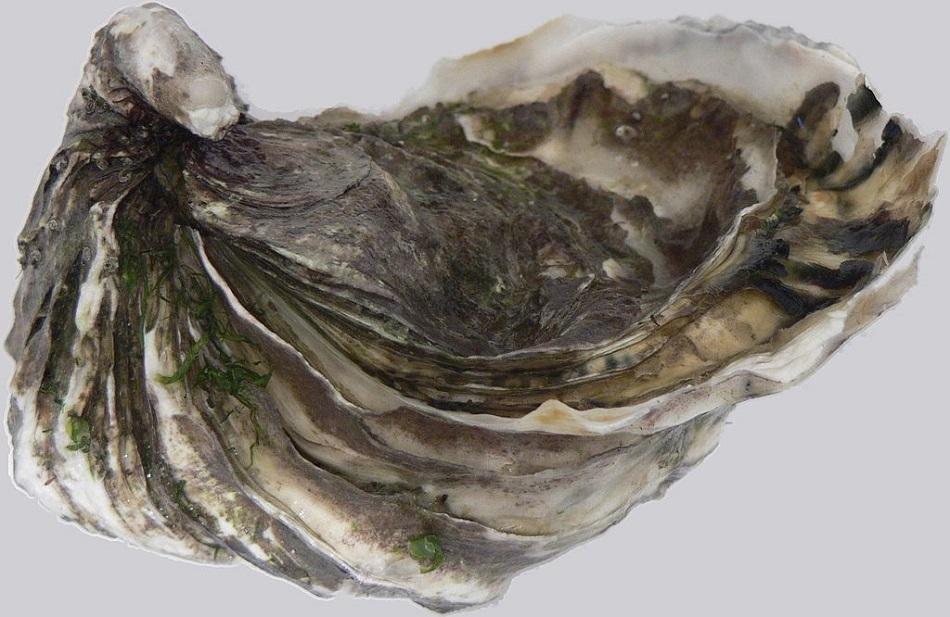 Ústřice velká (Crassostrea gigas, angl. Pacific oyster) David.Monniaux, CC BY-SA 3.0, http://creativecommons.org/licenses/by-sa/3.0/.