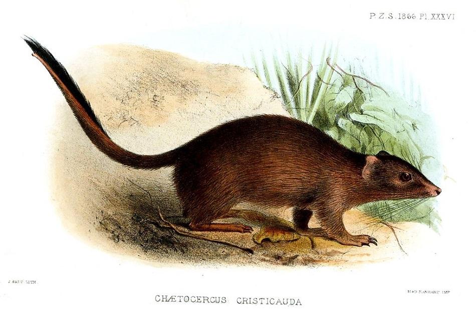Vakorejsek štětkatý (Dasycercus cristicauda) na kresbě Josepha Smita (volné dílo via Wikimedia Commons).