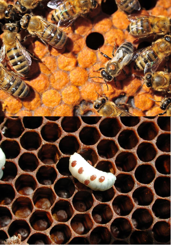 Vpravo od středu horního obrázku samičkou kleštíka zhoubného přisátá na dospělé včele medonosné,  dole na larvě (foto Zachary Huang, Michigan State University).