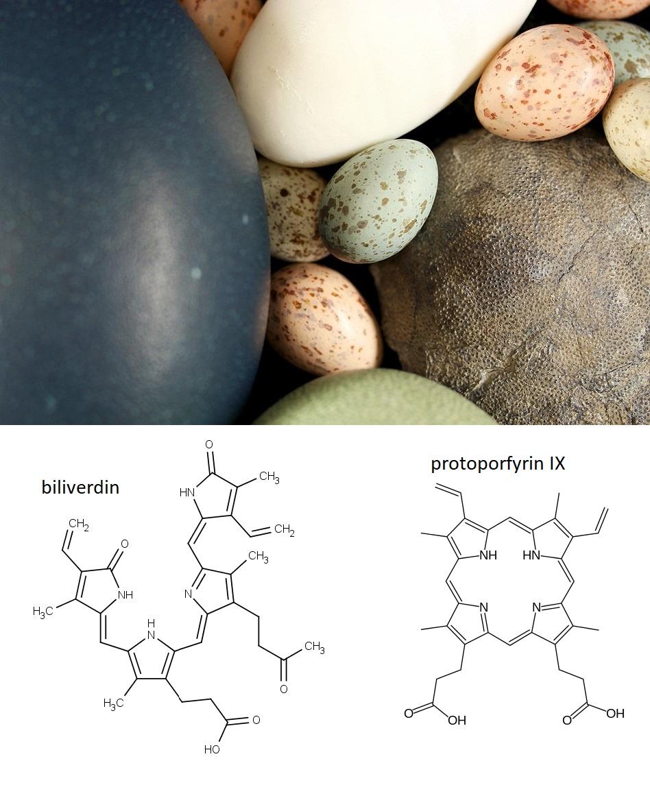 Nahoře srovnání ptačích a dinosauřího (velké vlevo) vejce (foto Jasmina Wiemann/Yale University), vlevo dole chemická struktura biliverdinu a vpravo dole chemická struktura protoporfyrinu IX.