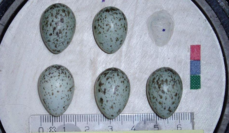 Ukázka vrabčích vajec. Rozdílná velikost odpovídá i trochu odlišnému tvaru, foto Thomas Kvalnes/NTNU).