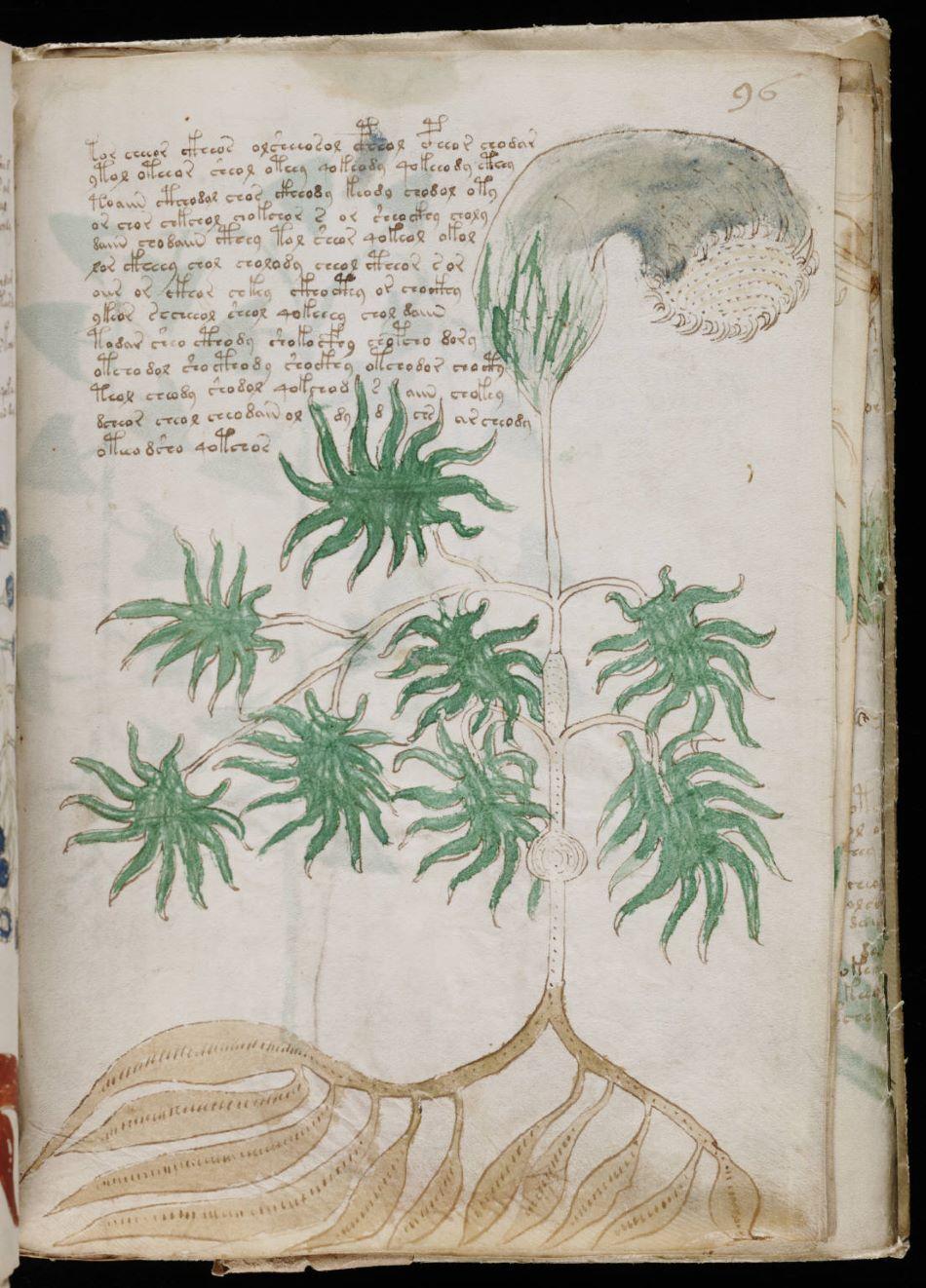 Botanické ilustrace z Voynichova rukopisu, foto Yale Universtiy/Public Domain.