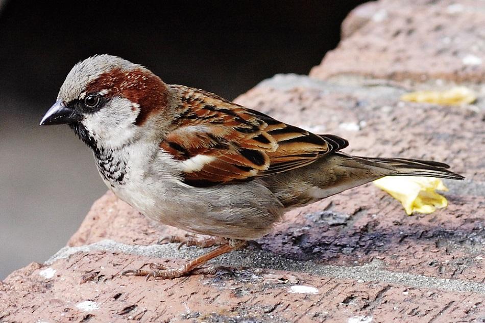 Sameček vrabce domácího, Fir0002/Flagstaffotos, CC BY-NC, via Wikimedia Commons.