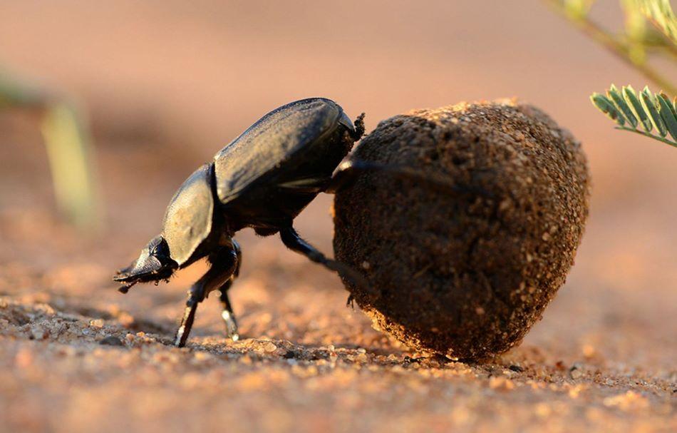 Vruboun Scarabaeus lamarcki tlačí svou kuličku. Povšimněte si, že při tlačení couvá, foto Chris Collingridge.