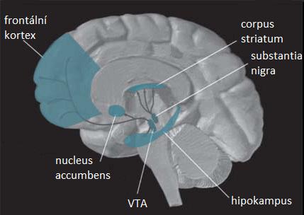 Poloha ventrální tegmentální oblasti VTA v mozku, obr. NIDA/Public domain.