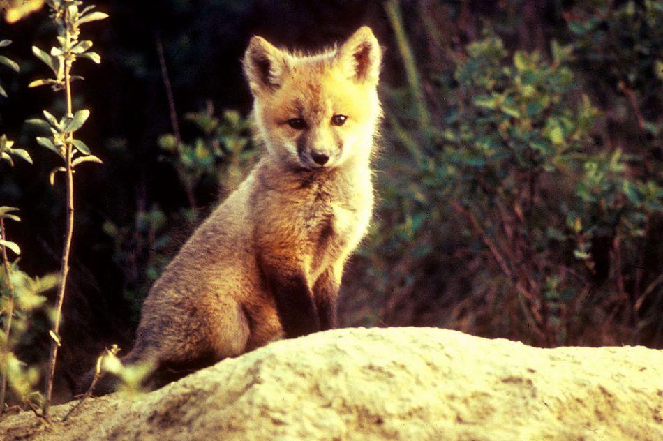 Mládě lišky obecné, foto Jim Frates/Public domain.