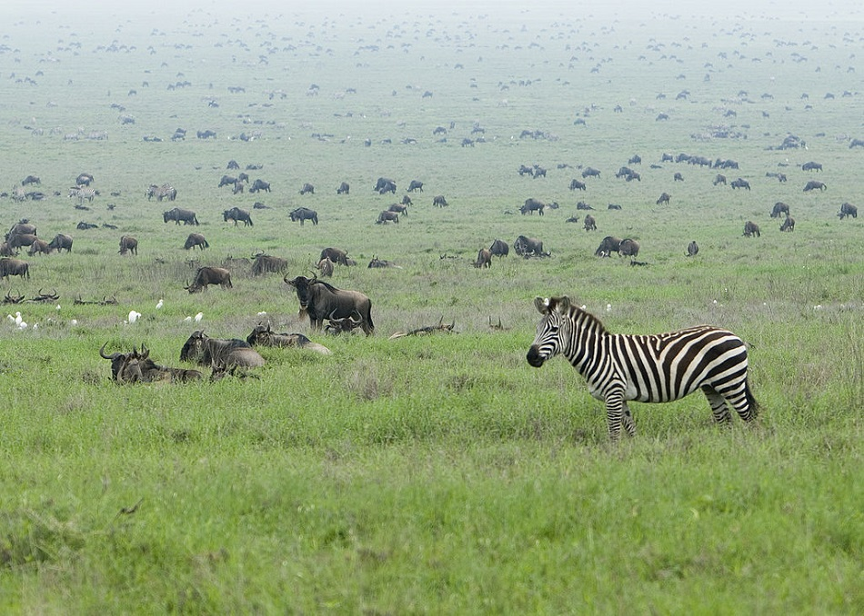 Zebry a pakoně v národním parku Serengeti (David Dennis from Pozuelo de Alarcón, Madrid, Spain (Zebra in the Serengeti Wildebeest Migration),CC BY-SA 2.0,https://creativecommons.org/licenses/by-sa/2.0, via Wikimedia Commons).