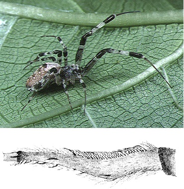 Samička pakřižáka tropického (Zosis geniculata, angl.humped spider), foto Akio Tanikawa, CC BY-SA 2.5, https://creativecommons.org/licenses/by-sa/2.5/deed.en, https://commons.wikimedia.org/wiki/File:Zosis.geniculatus.female.1.-.tanikawa.jpg, dole kresba jejího kalamistra, obr.John Henry Comstock, public domain, https://commons.wikimedia.org/wiki/File:Comstock-calamistrum.png.